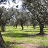 Salento, allarme per gli ulivi
