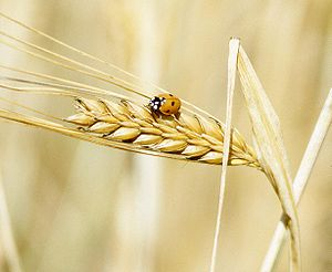 300px-A_lady_beetle_perches_on_barley