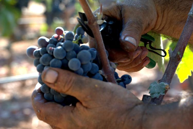 Taglio del grappolo colori by Lucilla Cuman Ph